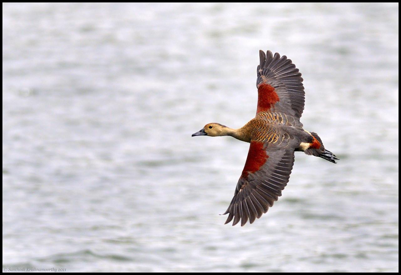 Lesser Whistling Duck....