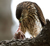 Coopers hawk with a bit of meat.