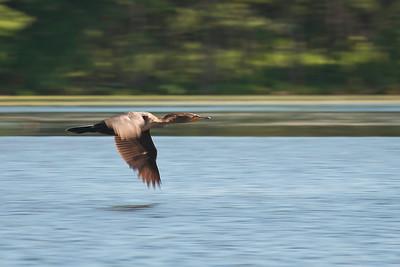 Cormorant at Nashua River (MA) on 20100702
