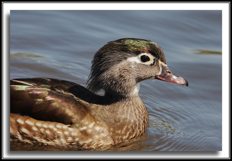 Female Wood Duck   (w/ Bigma)