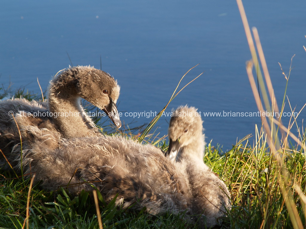 Fluffy black swan chicks by lake.