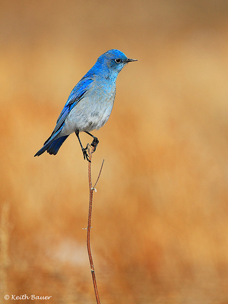 Mountain Bluebird - Maxwell NWR