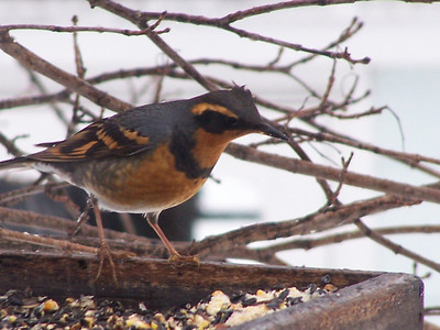 This Varied Thrush was a very exciting visitor to our feeder during December of 2007. He was the first one reported in Northeast Wisconsin for the winter.