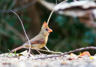 Adult Female Cardinal