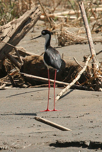 Black Neck Stilt  -- Costa Rica