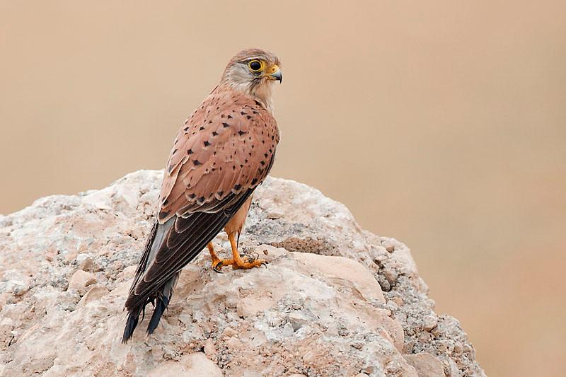 Common Kestrel , shot in Salalah - OmanCanon EOS 40D + Canon EF 500mm f/4L lens.