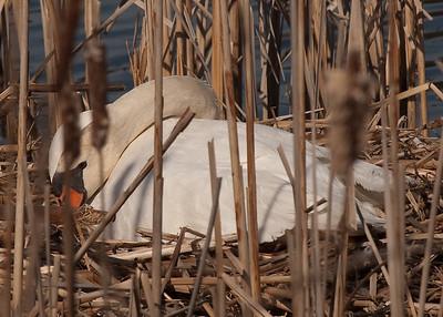 Swan-101