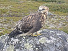 Arctic Peregrine Falcon