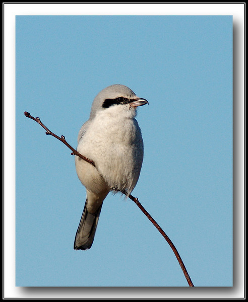 Northern Shrike<br /> At Boundary Bay Airport w/Sony A700 + Sigma 50-500 (Bigma)