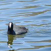 American Coot<br /> Luna Lake, AZ.<br /> May 1, 2017