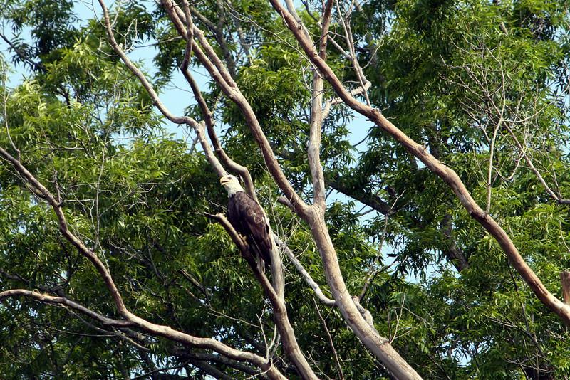 Male Bald Eagle on Neuse River
