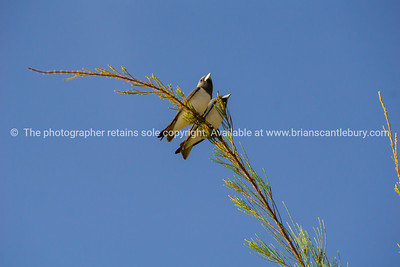 White-breasted woodswallow high on a thin branch