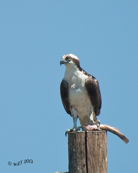 Osprey, Bring Home Dinner
