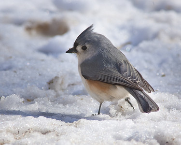 Titmouse tail in snow