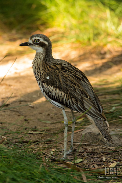 Bush Thick-knee (Burhinus grallarius)
