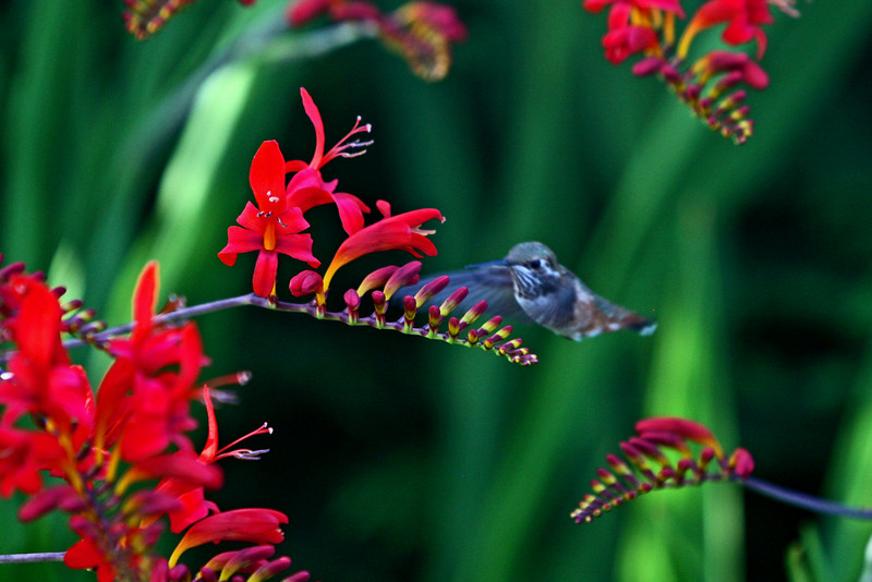 Huming bird ? in garden on unknown flower?
