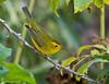 Female Wilsons Warbler