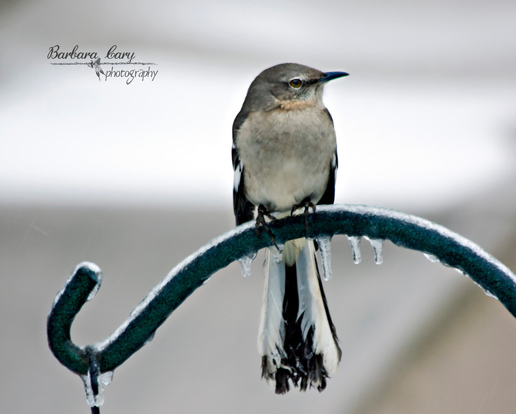 You know it's cold outside when you see ice on a bird's tail feathers. See the backside of this mockingbird in my daily photos album.