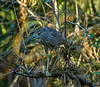 Juvenile Black-crowned Night Heron, Big Bend Boardwalk, Fakahatchee Strand Preserve State Park, Florida