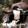 Frigate bird on nest.