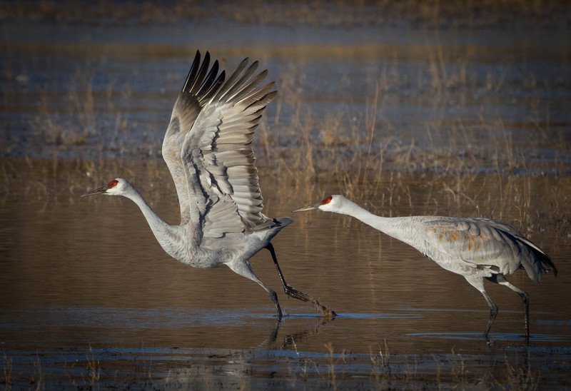 Sandhill Cranes taking off,Bosque Del Apache