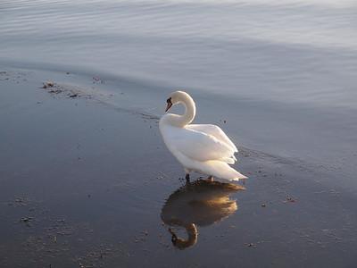 Swan. Photo: Martin Bager.