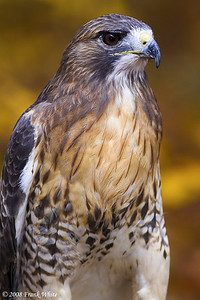 Red tailed hawk, captive