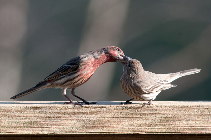 House Finch, Male and Female