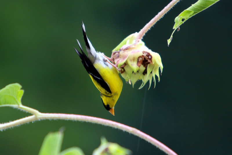 Male Yellow Goldfinch on sunflower plant