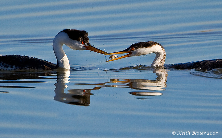 Western Grebe Feeding a Youngster