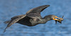Cormorant with catfish