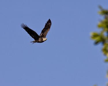 Bald eagle retreats from osprey encounter