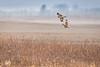 turf battle N harrier SE owl-7482