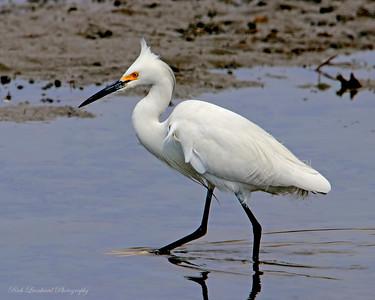 Snowy Egret at The Oceanside Nature Marine Study Area.