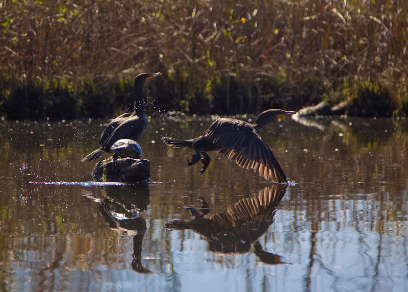 Wertheim Wildlife Refuge, Shirley, NY - 10/09/2011 - Double Crested Cormorants share a log with a spotted turtle.