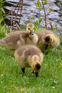 Goslings, Canada goose (Branta canadensis).