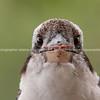 Kookaburra close-up portrait.