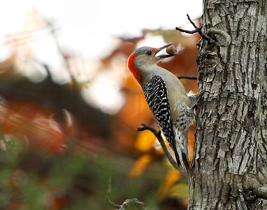 Nutty Red Bellied Woodpecker