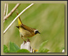 Common Yellowthroat male  @ Delta, BC