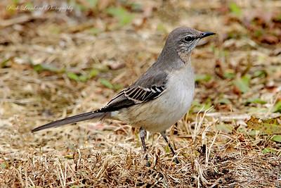 Mocking Bird in Wantagh, NY.