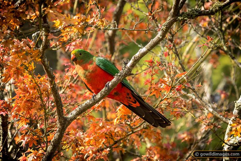 Autumn Parrot