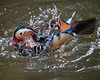 Mandarin Duck having a splash