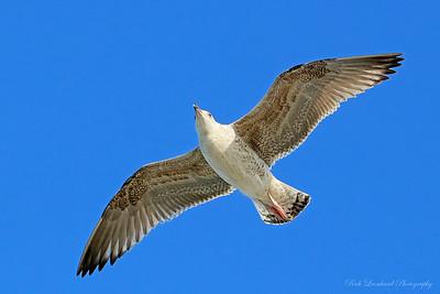 Seagull flying at Jones Beach, NY.