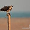 "Osprey with a dilisouse meal , Ras Ruwais "" Oman""<br /> <br /> العقاب النساري - راس رويس "" جعلان بني بو علي"" ,, عمان"