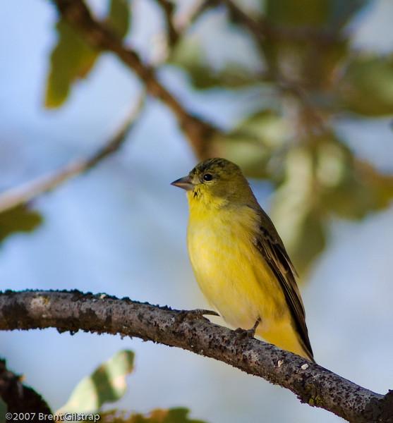 Lesser Goldfinch<br /> Mariposa, CA
