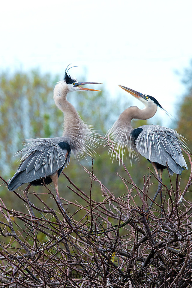 Family Discussion ~ Pair of Great Blue Herons