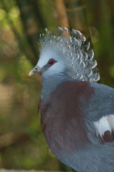 Crown Victoria Pigeon