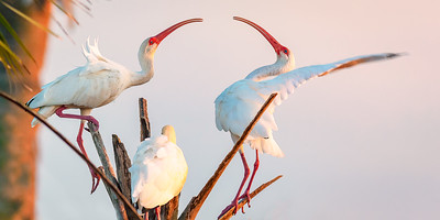 ibises at 466mm  20D