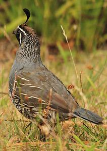 Quail, Raglan, New Zealand