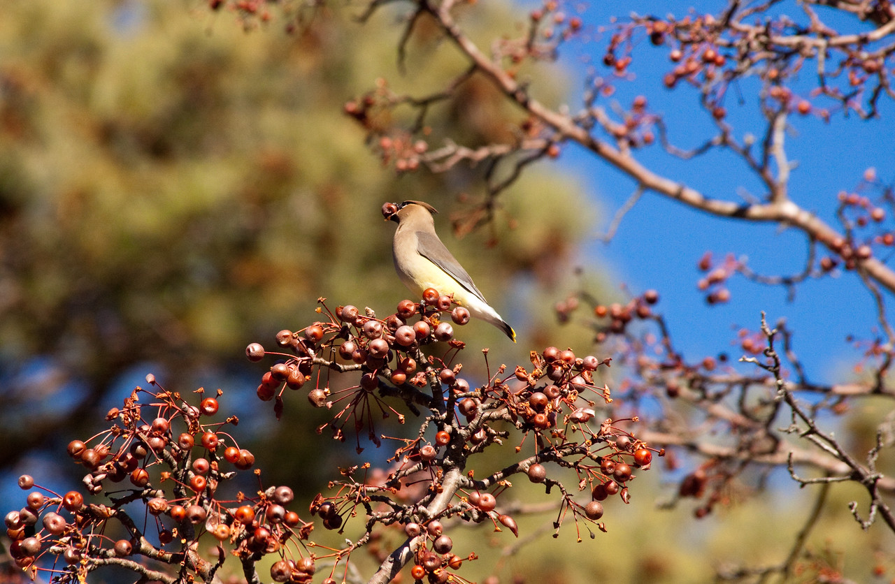 Cedar Waxwing feeding while migrating